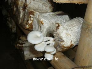 Tuh kan keluar jamur tiramnya :D
